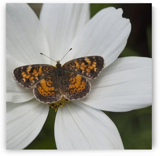 Butterfly On White Flower by PacificStock