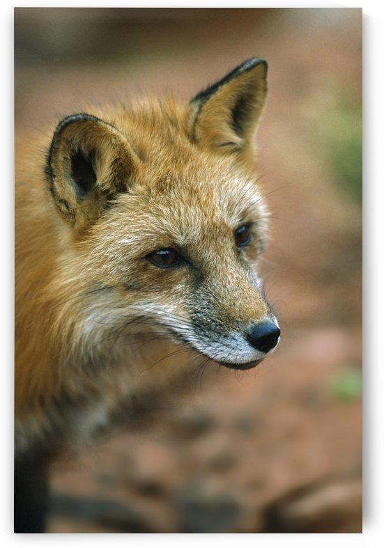 Red Fox (Vulpes Vulpes); Utah, Usa by PacificStock