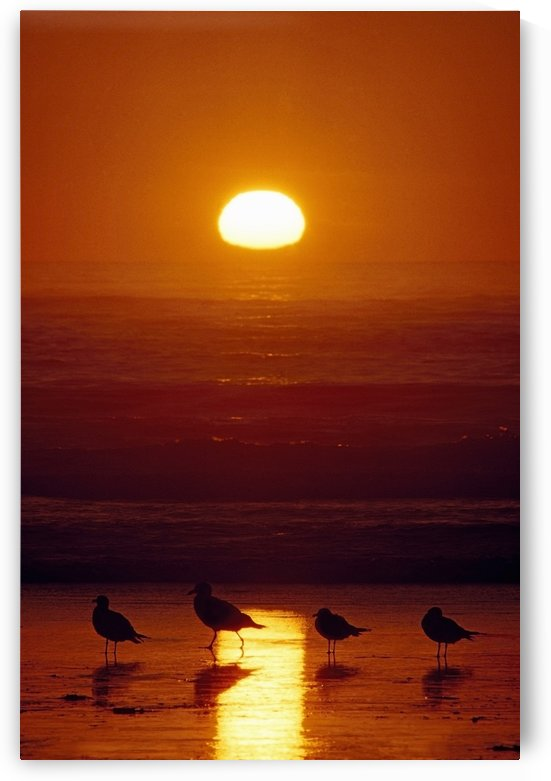 Seagulls, Shishi Beach, Washington, Usa by PacificStock