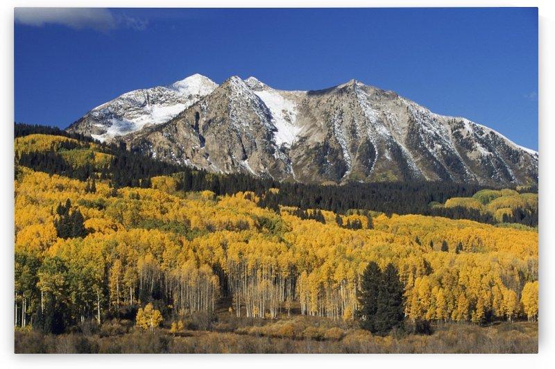 Aspen Trees In Autumn, Rocky Mountains, Colorado, Usa by PacificStock