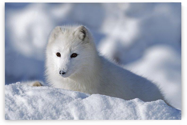 Arctic Fox Exploring Fresh Snow; Alaska, Usa by PacificStock
