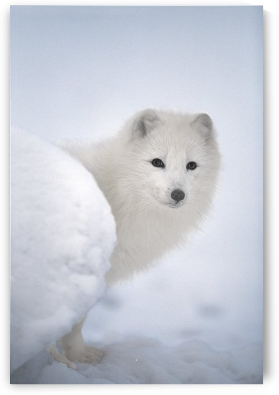 Arctic Fox Exploring Fresh Snow; Alaska, Usa by PacificStock