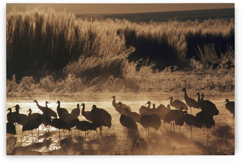 Sandhill Crane (Grus Canadensis) Flock On Pond, Bosque Del Apache National Wildlife Refuge, New Mexico, Usa by PacificStock