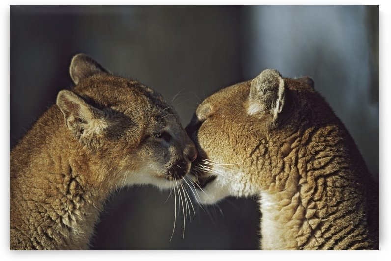Mountain Lion (Felis Concolor) Cub Nuzzles Mother's Face; Montana, Usa by PacificStock