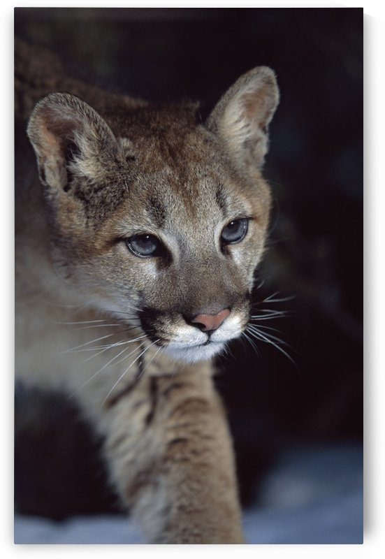 Mountain Lion (Felis Concolor); Montana, Usa by PacificStock
