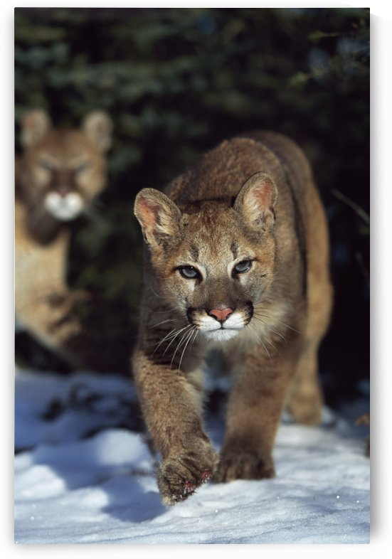 Mountain lion cub (Felis concolor) walking on snow toward camera, mother in background; Montana, Usa by PacificStock