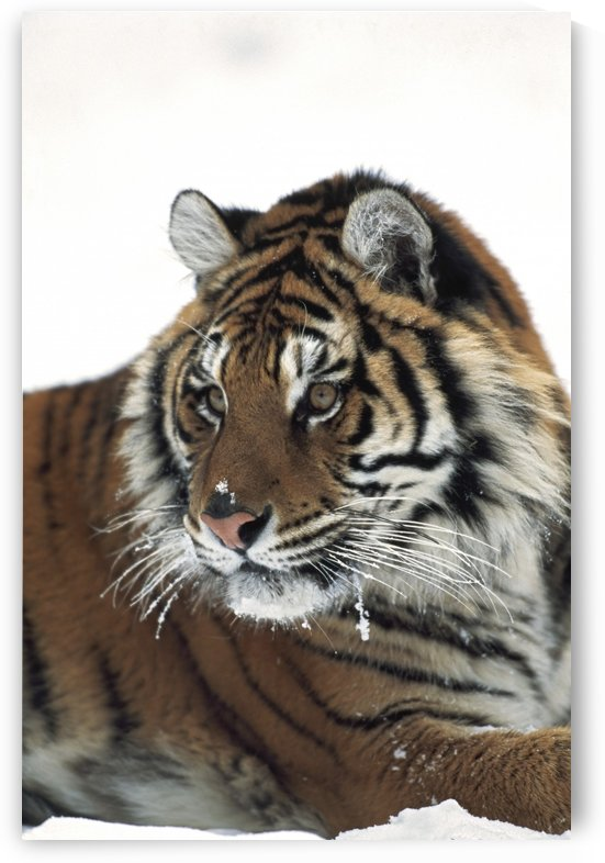 Siberian tiger (Panthera tigris altaica) portrait, with bits of snow on face and whiskers by PacificStock
