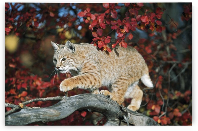 Bobcat Walks On Branch Through Hawthorn In Autumn; Idaho, Usa by PacificStock