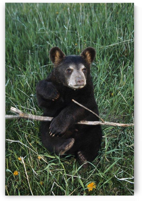 A Bear Cub; Montana, Usa by PacificStock