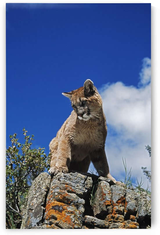 Young Mountain Lion (Felis Concolor) Looks Down From Rock Outcrop; Montana, Usa by PacificStock