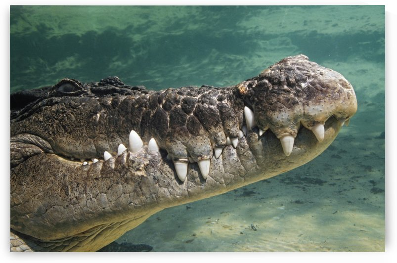 Close-Up Of Saltwater Crocodile Underwater by PacificStock