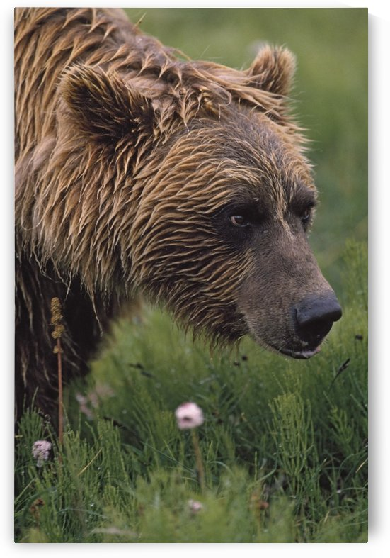 Grizzly Bear Wet From Rain by PacificStock
