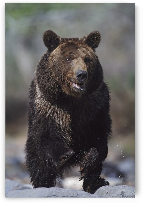 Grizzly Bear (Ursus Arctos); Alaska, Usa by PacificStock