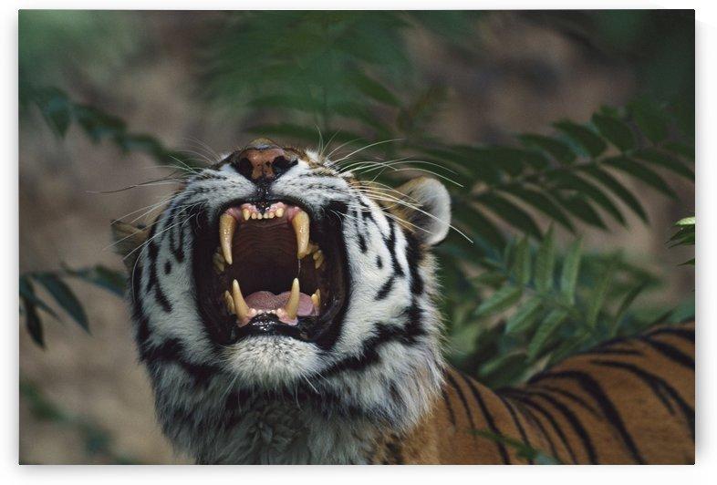 Siberian Tiger (Panthera Tigris) Bares Fangs by PacificStock