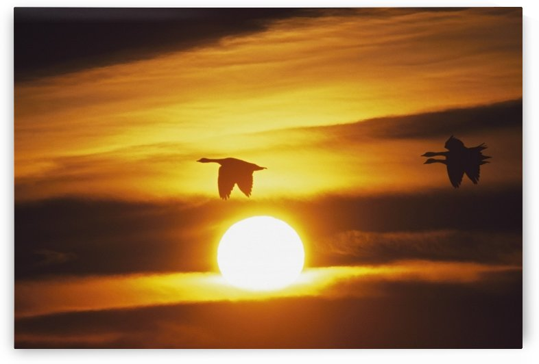 Snow Geese Flying By Sunrise by PacificStock