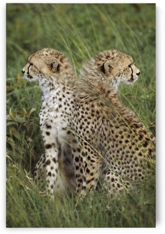 Young Cheetahs In Grassland Habitat, Africa by PacificStock