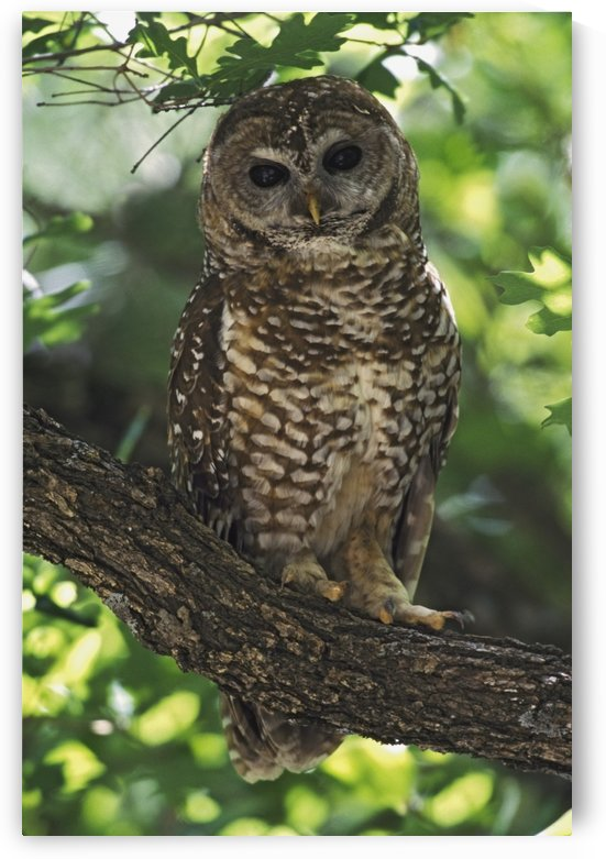 Mexican Spotted Owl On Perch In Gambel Oak by PacificStock