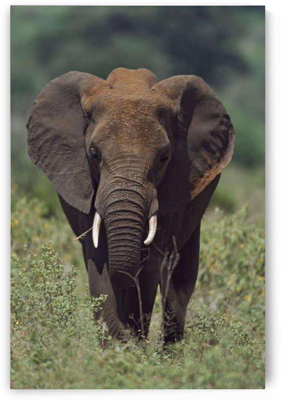 African Elephant, Africa by PacificStock