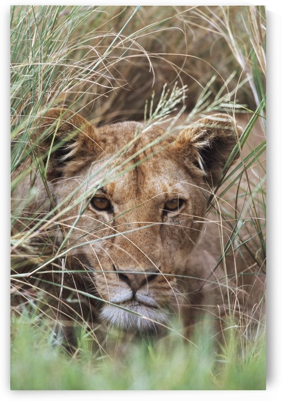Lioness Peering Through Grass, Africa by PacificStock