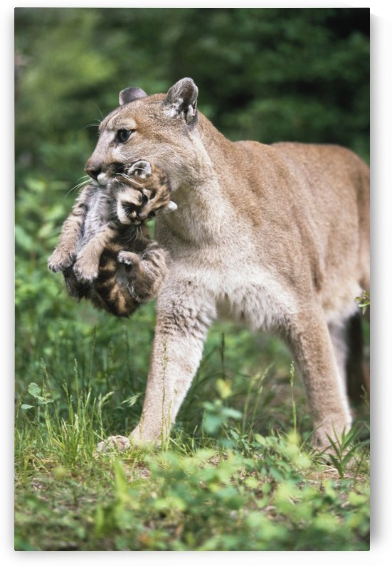 Mountain Lion Carrying Cub By The Nape Of Its Neck by PacificStock