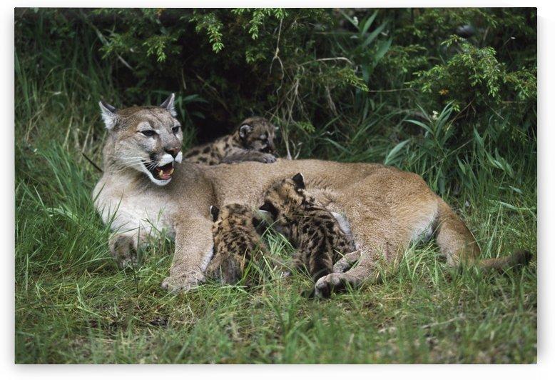 Mountain Lion Nursing Cubs by PacificStock