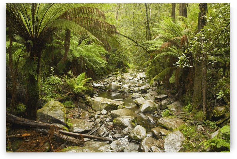 Creek Running Through The Rainforest, Victoria, Australia by PacificStock