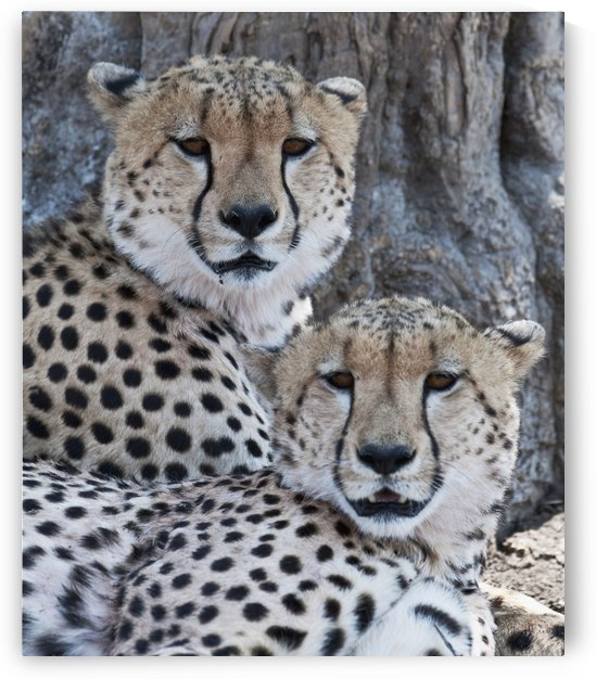 Cheetahs by PacificStock