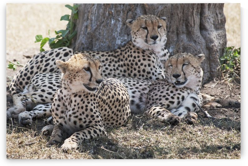 Leopards, Kenya, Africa by PacificStock