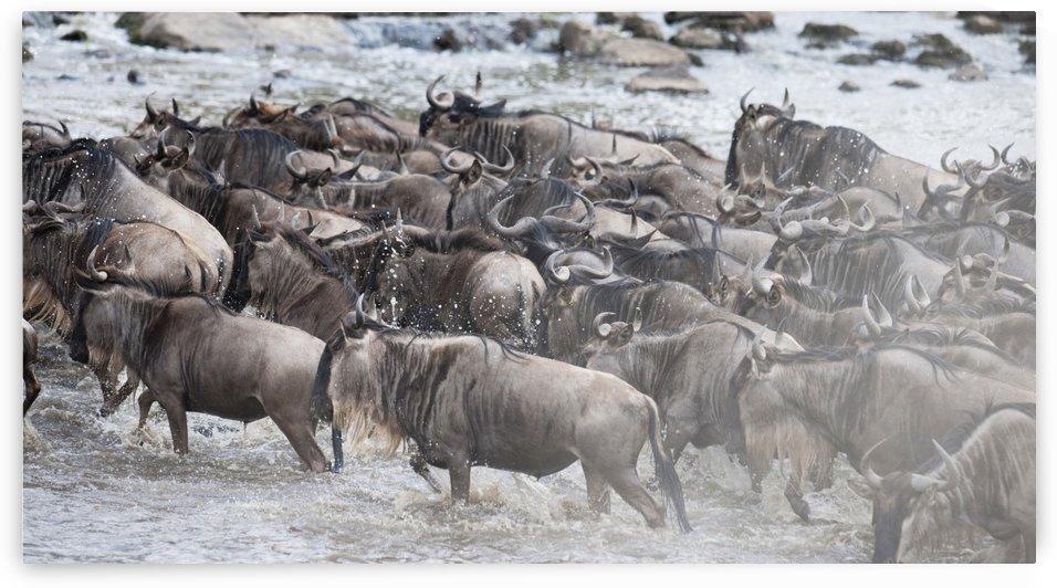 Wildebeest, Kenya, Africa by PacificStock