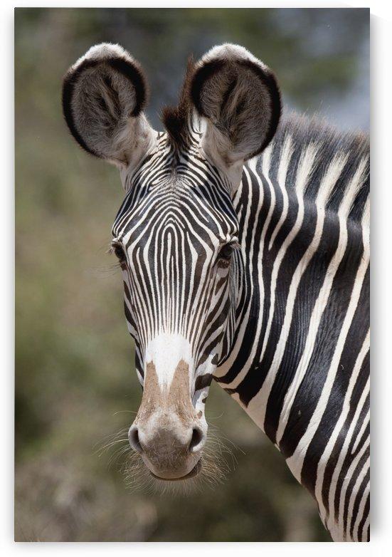 Zebra, Kenya, Africa by PacificStock