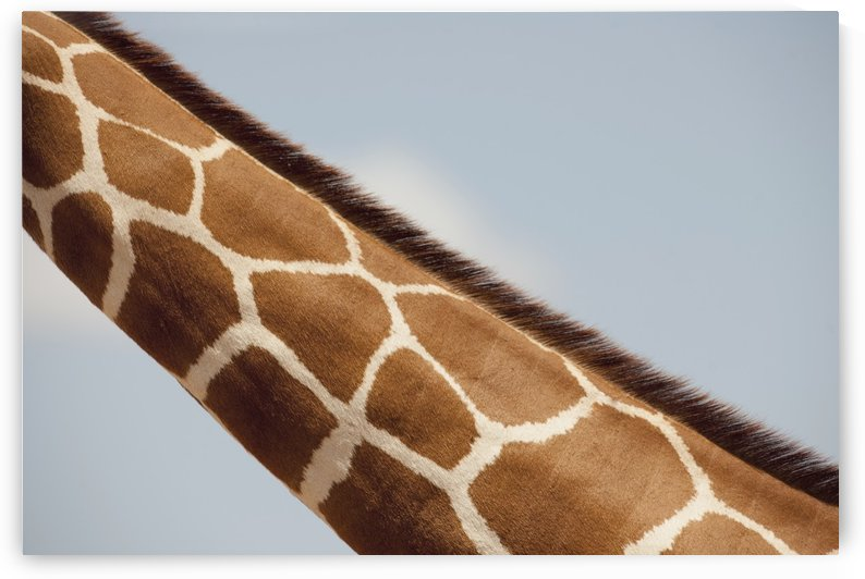 Giraffe's Neck, Kenya, Africa by PacificStock