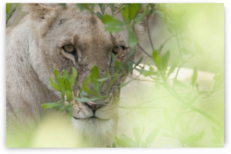 Lioness, Kenya, Africa by PacificStock