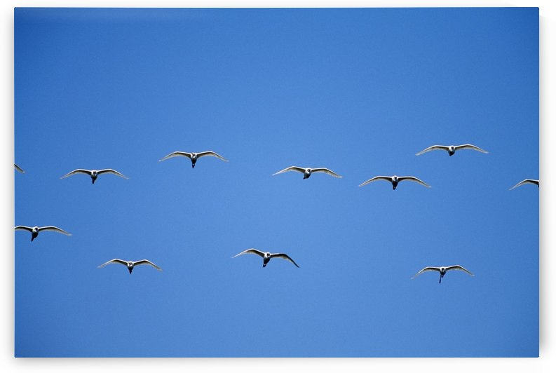 Cattle Egrets (Bubulcus Ibis) Flying In Open Flock by PacificStock