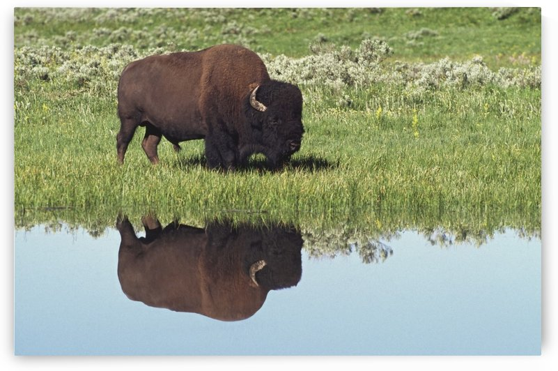 Bison (Bison Bison) On Grassy Meadow With Reflection In Pool by PacificStock