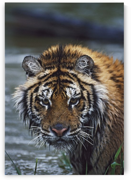 Portrait Of Wet Siberian Tiger by PacificStock