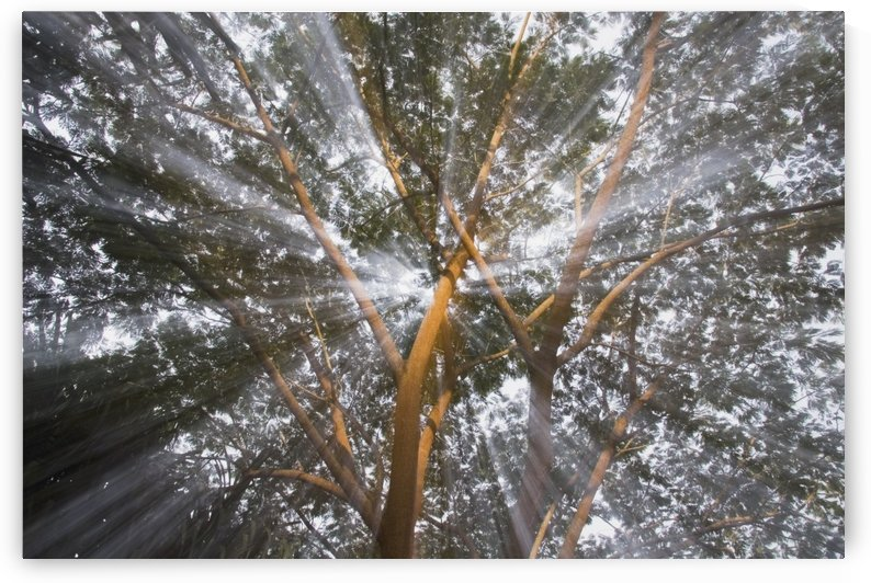 Light Streams Through Tropical Tree, Costa Rica by PacificStock