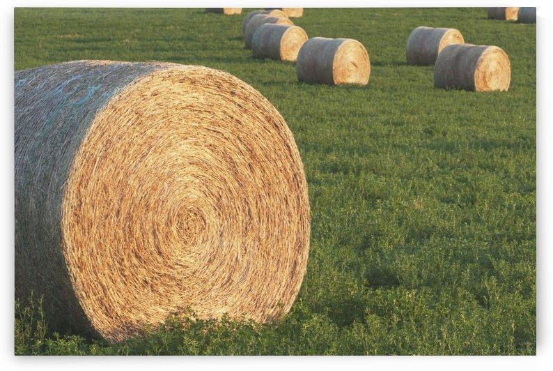 Hay Bales In Green Alfalfa Field, Alberta, Canada by PacificStock