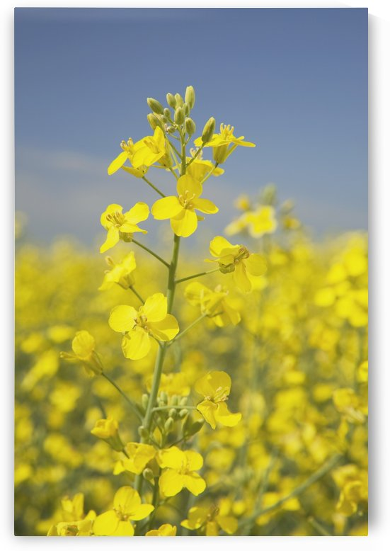 Flowering Canola, Alberta, Canada by PacificStock