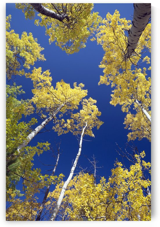 Forest During Autumn, Kananaskis, Alberta, Canada by PacificStock