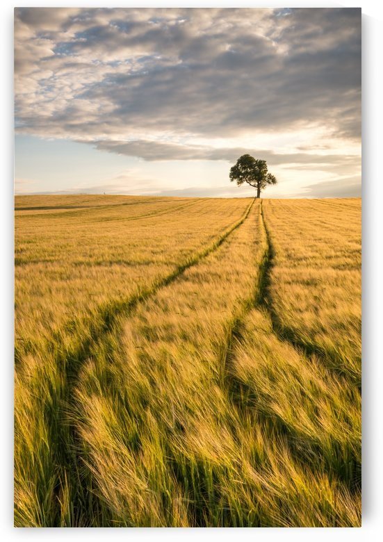 Lonely Tree in Corn Field by Andreas Wonisch