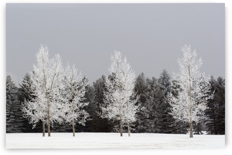 Frost On Trees, Calgary, Alberta, Canada by PacificStock