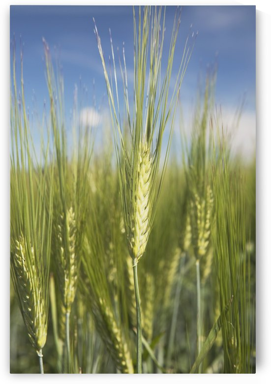 Wheat Heads by PacificStock