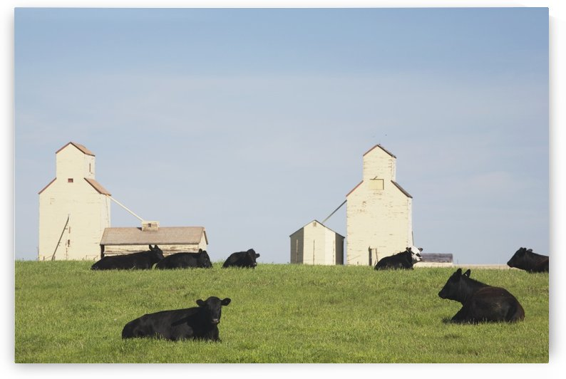 Moseleigh, Alberta, Canada; Cattle In A Field With Grain Elevators by PacificStock