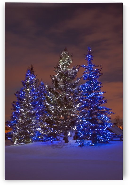 Calgary, Alberta, Canada; Christmas Lights On Evergreen Trees At Sunset by PacificStock