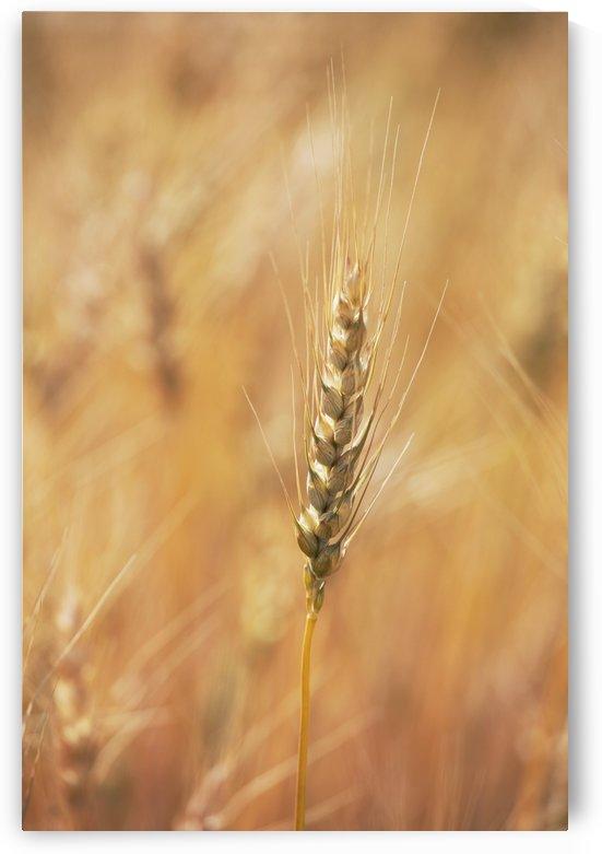 Alberta, Canada; Ripe Wheat Head by PacificStock