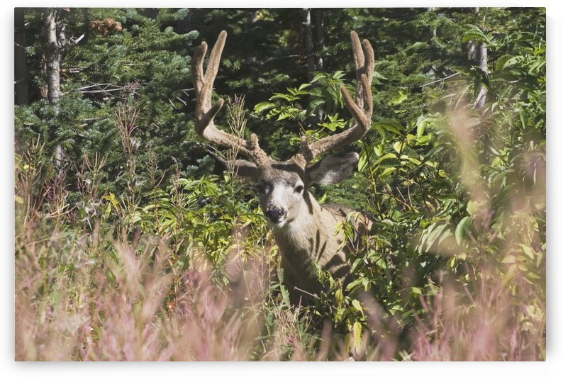 Waterton National Park, Alberta, Canada; Deer In A Mountain Meadow by PacificStock