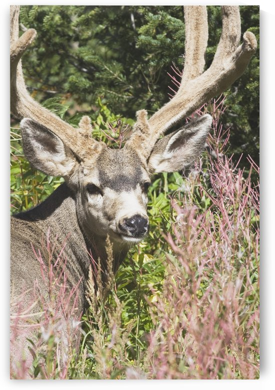 Waterton, National Park, Alberta, Canada; Deer In A Mountain Meadow by PacificStock