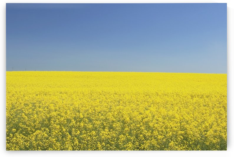 Flowering Canola, Central Alberta, Canada by PacificStock