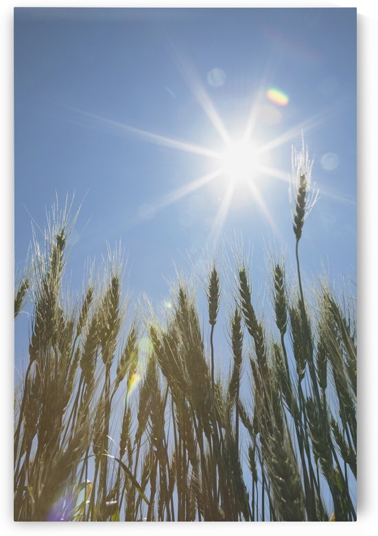 Green Wheat Field, Central Alberta, Canada by PacificStock