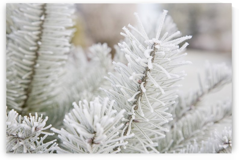 Frost On Pine Tree by PacificStock